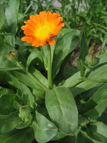 Fleur de Calendula - SERFA - Produits naturels Dakar